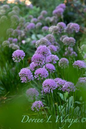 40056 Allium 'ALLMIG1' Millenium_5149