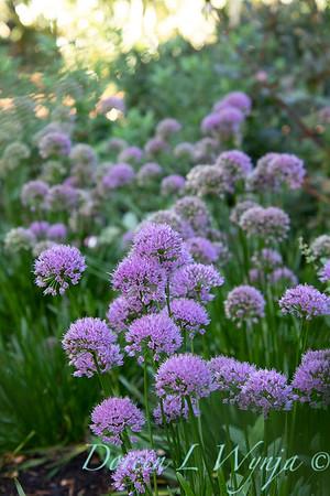 40056 Allium 'ALLMIG1' Millenium_5142