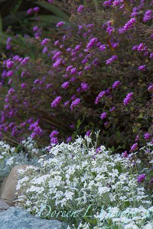 Cerastium tomentosum - Lantana sellowiana_2278
