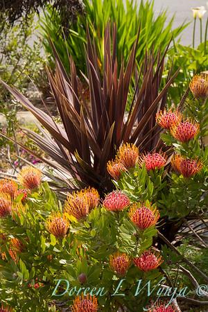 Leucospermum cordifolium - Cordyline_9396