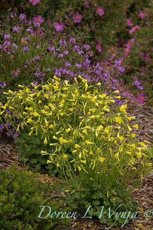 Oxalis little yellow flowers_1035