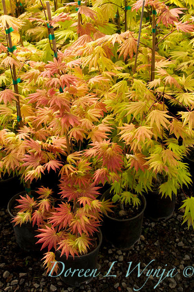 Acer shirasawanum Autumn Moon_9600