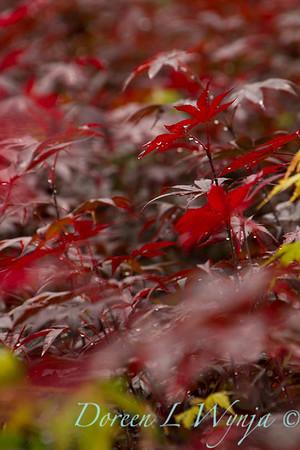 Acer palmatum Emperor_9801