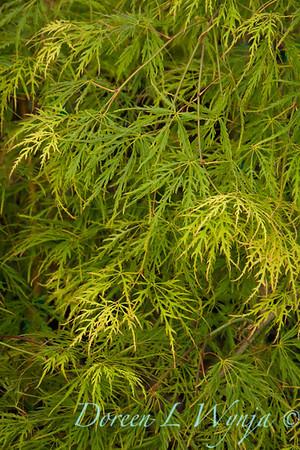 Acer palmatum dissectum Waterfall_9553