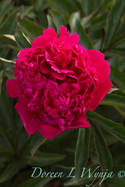 Paeonia lactiflora Felix Crousse_4492