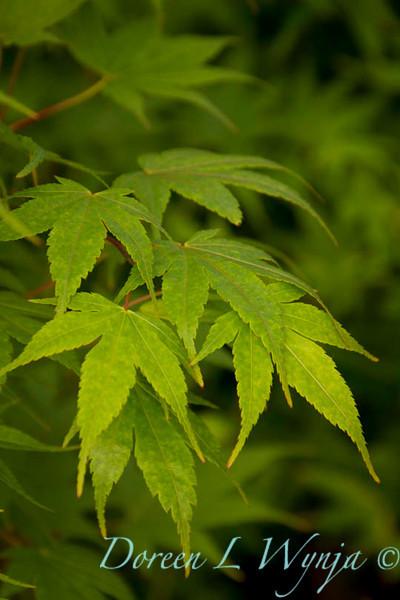 Acer palmatum Sango Kaku_9585