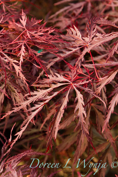 Acer palmatum Red Select_9547