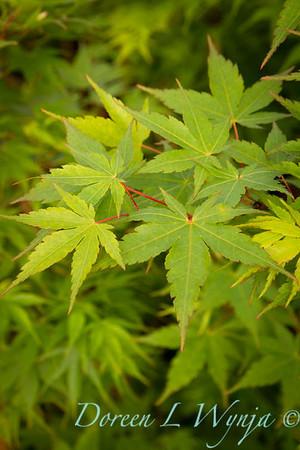 Acer palmatum Sango Kaku_9591