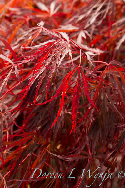Acer palmatum Red Select_9544
