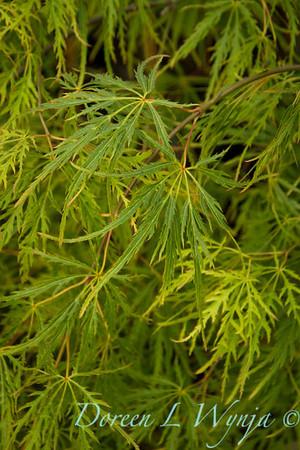 Acer palmatum dissectum Waterfall_9558