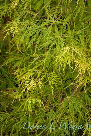 Acer palmatum dissectum Waterfall_9552