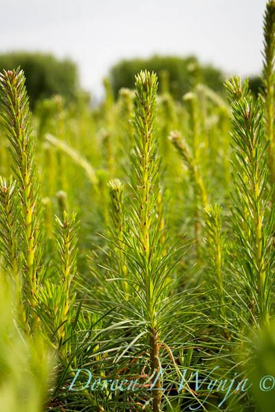 Pinus sylvestris_4627