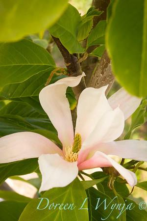 Magnolia Blushing Belle_9861