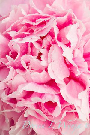 Paeonia lactiflora Sarah Bernhardt_4495