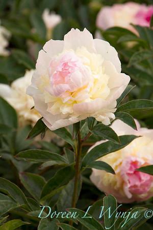 Paeonia lactiflora Raspberry Sundae_4487