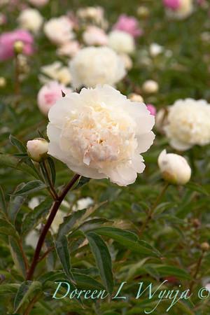 Paeonia lactiflora Mr Ed_4546