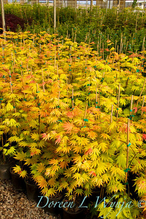 Acer shirasawanum Autumn Moon_9603