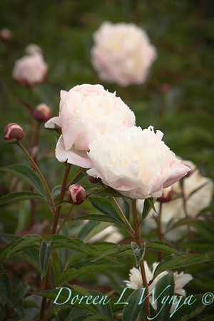 Paeonia Shirley Temple_4480