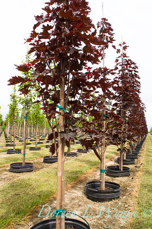 Pot in Pot Acer platanoides Crimson Sentry_3015