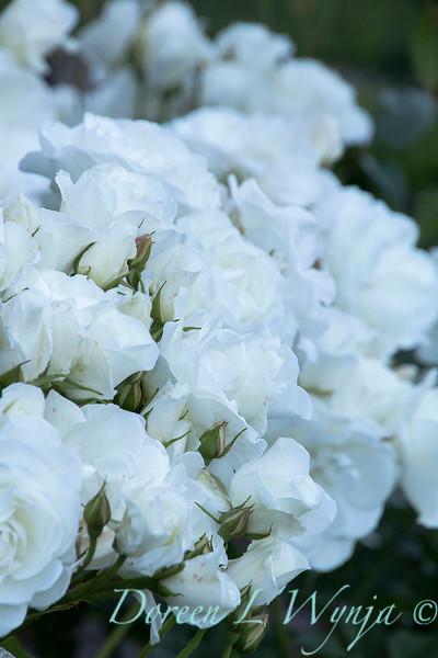 Rosa floribunda 'Iceberg'_0257