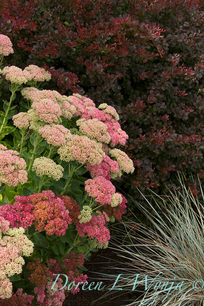 Sedum Autumn Joy_051