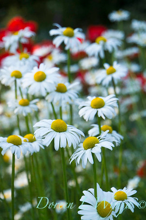 Cottage Garden Leucanthemum × superbum 'Becky'_1629