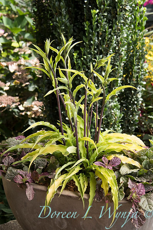 41268 Hosta x 'Curly Fries' - 59 Ajuga reptans 'Burgundy Glow' - container planting_0753