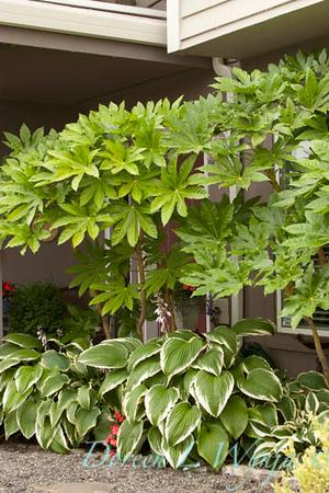 Fatsia japonica_002