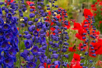 Delphinum Black Knight - Red Poppies_011_Doreen Wynja