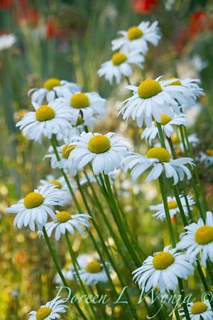 Cottage Garden Leucanthemum × superbum 'Becky'_1630