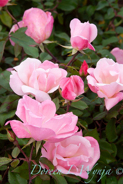 Rosa x Radyod Blushing Knock Out_026 copy