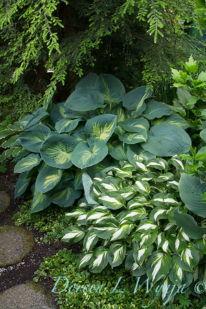 Hosta 'Guardian Angel' Hosta 'Night Before Christmas'_0409