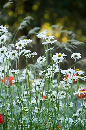 Cottage Garden Leucanthemum × superbum 'Becky'_1633