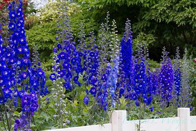 Delphinium elatum Summer Skies_348_Doreen Wynja