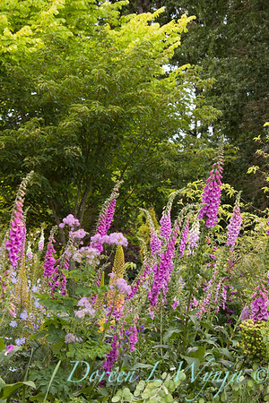 Digitalis purpurea_Doreen Wynja_027