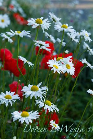 Cottage Garden Leucanthemum × superbum 'Becky'_1626