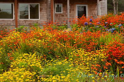 Chrysanthemum Crocosmia meadow_009