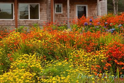 Chrysanthemum Crocosmia meadow_009