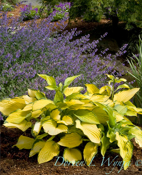 4179 Hosta fortunei Gold Standard_002_72ppi