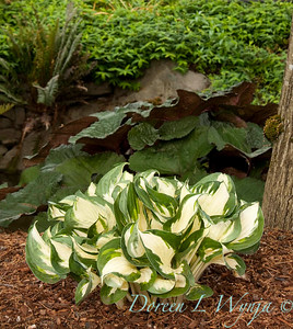 1749 Hosta_Fire and Ice_009_72pppi
