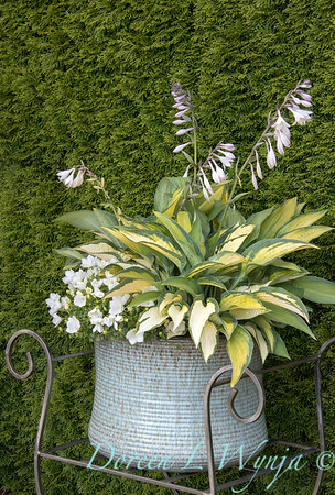 6201 Hosta x 'Paul's Glory' - 40840 Campanula carpatica 'Rapido White' container_3356