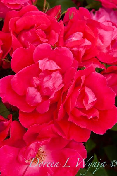 Rosa x Radrazz Knock Out Shrub_028 copy