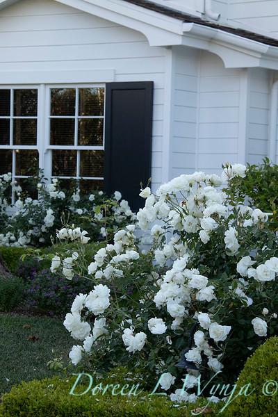 Rosa floribunda 'Iceberg' - Buxus boxwood headge - white garden_0705