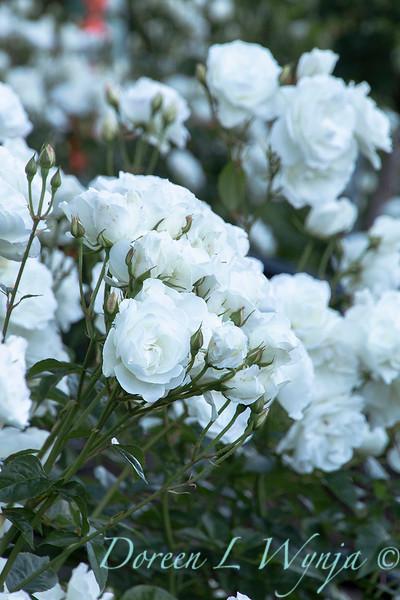 Rosa floribunda 'Iceberg'_0255