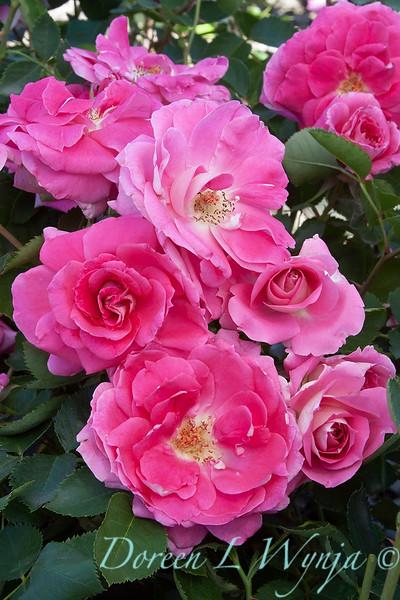 Rosa 'Meipitac' Carefree Wonder_5465