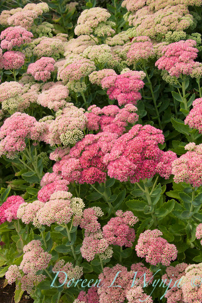 Sedum Autumn Joy_057