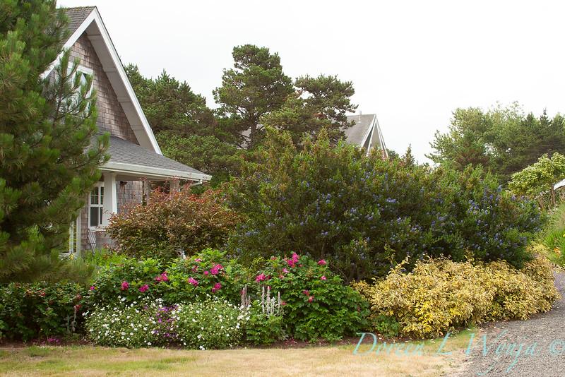 Coastal cottage garden - Rosa rugosa_3302
