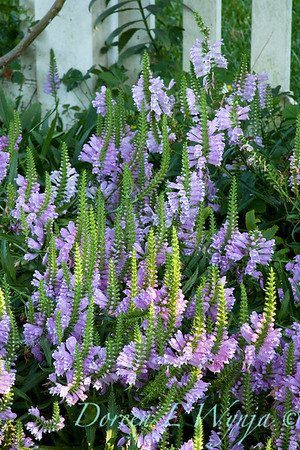 Physostegia virginiana_030
