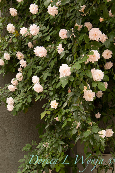 Rosa x 'Cecile Brunner'  - Climbing rose_3094 copy