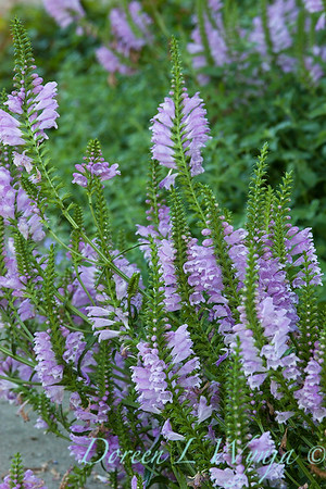 Physostegia virginiana_008